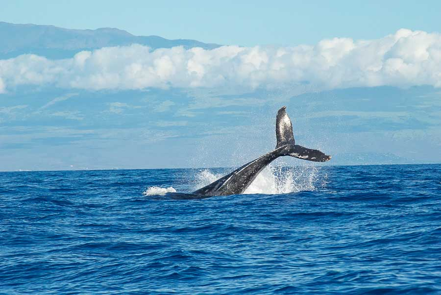 Whale watching season in Maui