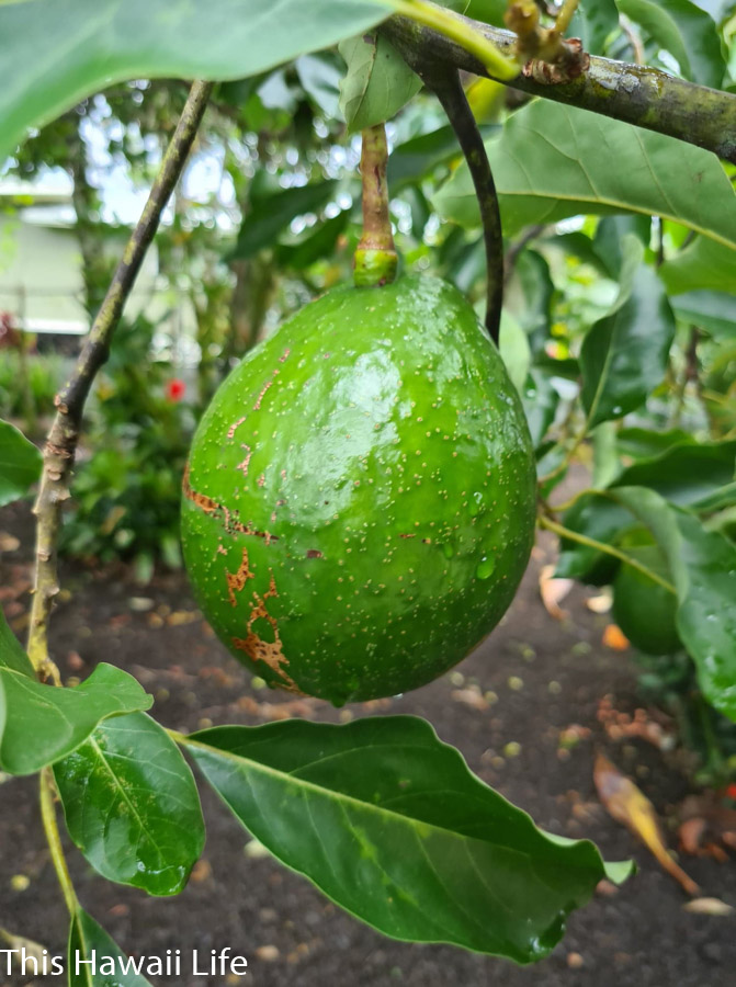 Cool Facts, background and uses for avocados