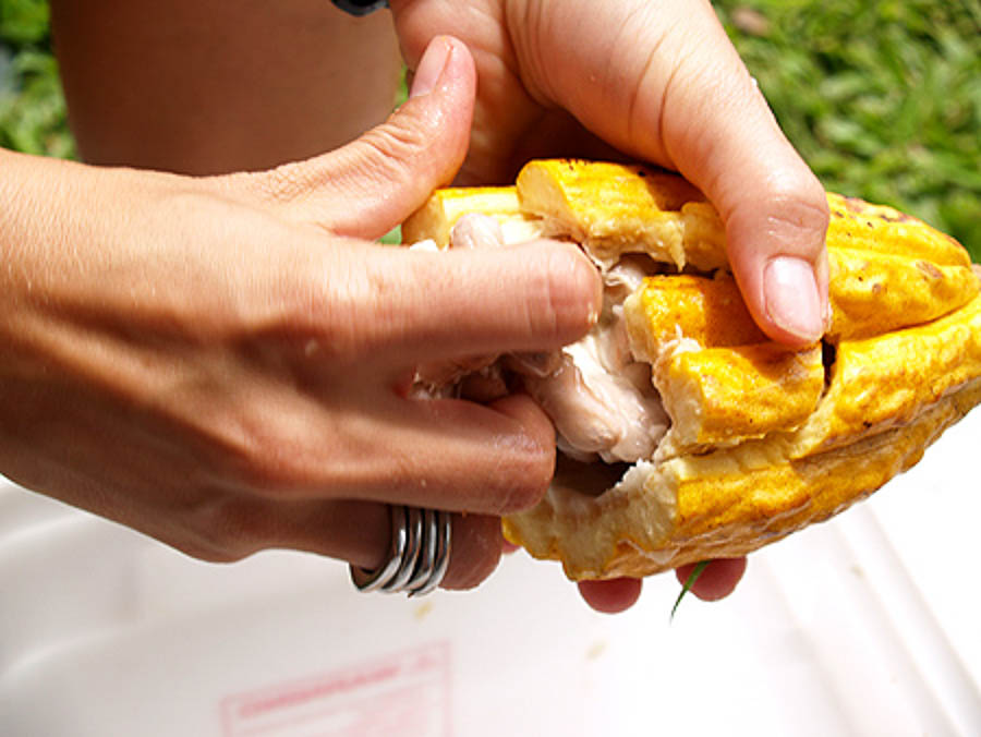 Extracting the seed pods from the cacao pods