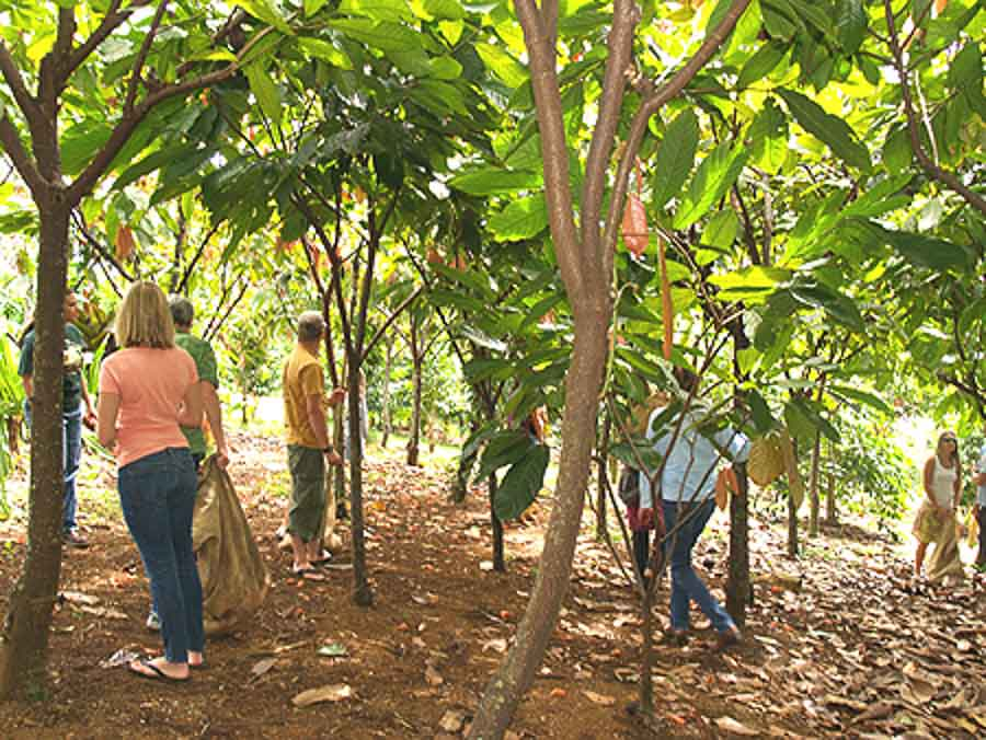 Touring the cacao fields in Hawaii island
