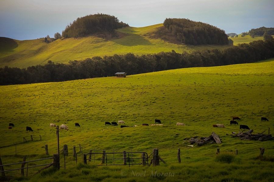 Horseback riding on the  Kohala region of the Big Island
