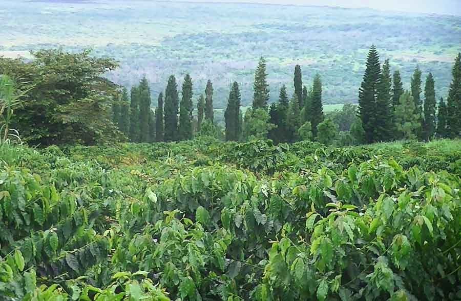 Visiting the famous coffee farms in Kona