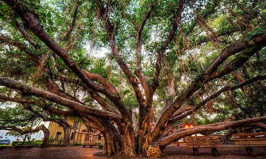 Lahaina banyan tree 1