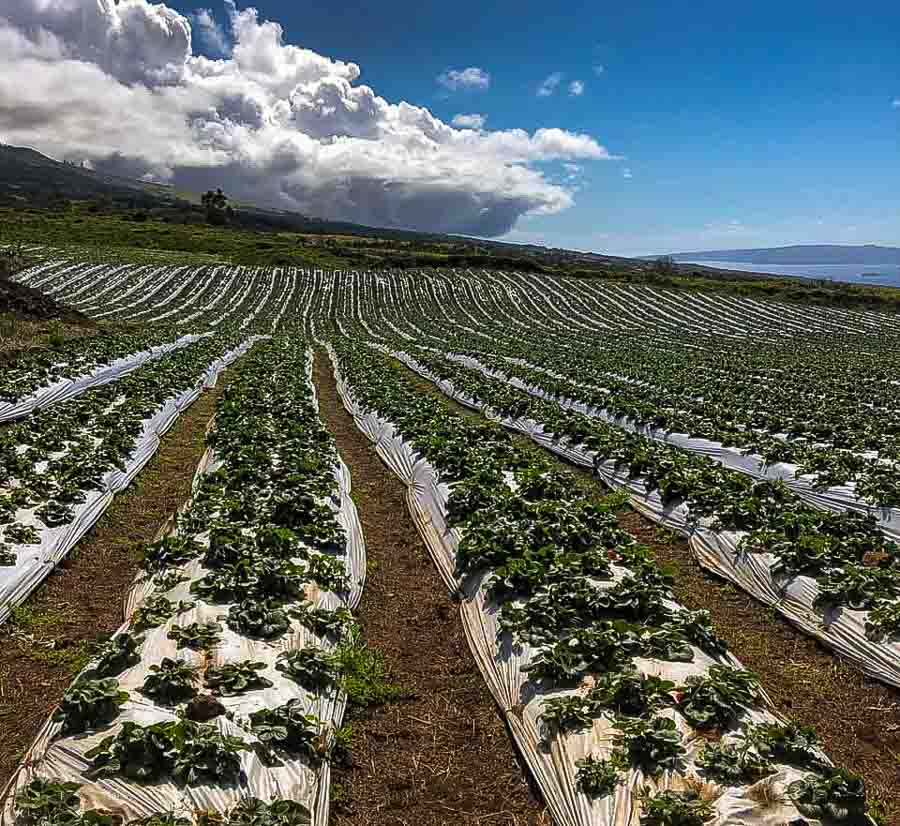 strawberry picking in Maui