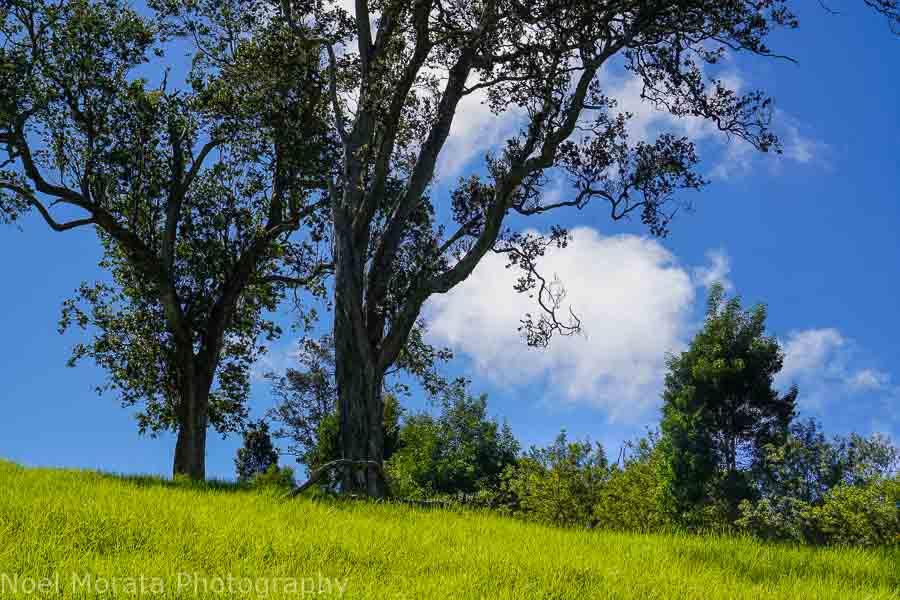 Native ohia and grass at Pu'uwa'awa'a