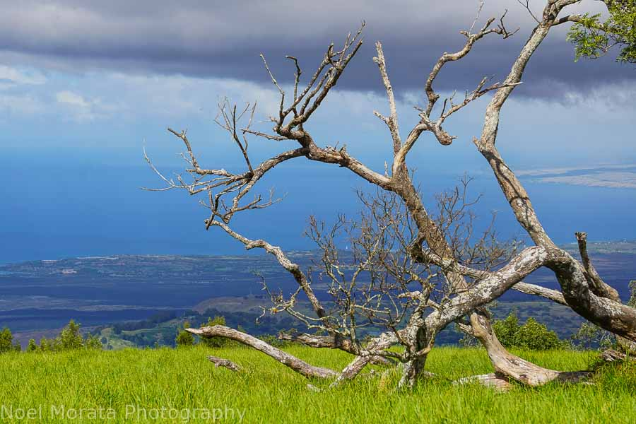 Downed trees and views to the Kohala coastline