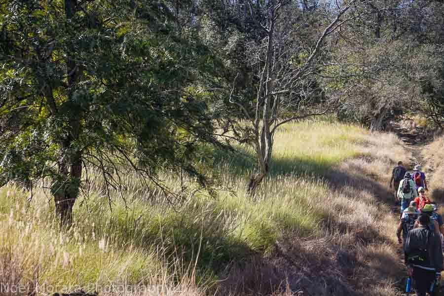 Taking the Ohia trail to the Pu'u base at Pu'uwa'awa'a