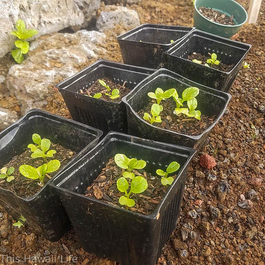 Growing veggies in Hawaii