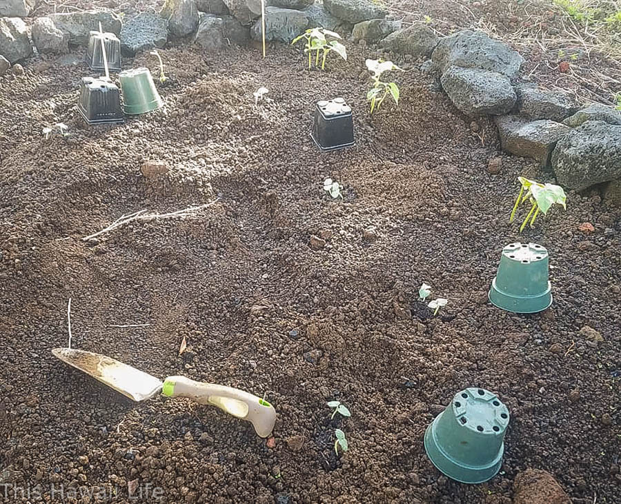 Growing fruits and veggies in Hawaii