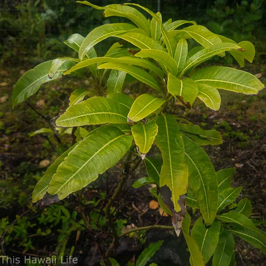Mango tree leaves for toilet paper use