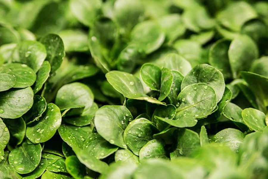 Adding lots of healthy greens in your  diet