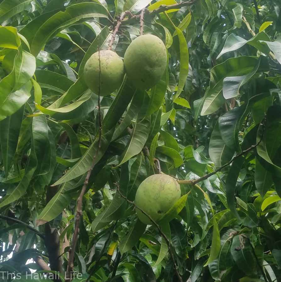 mangoes growing bigger in Hawaii