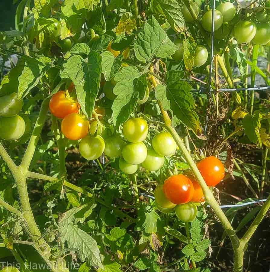 Choosing a location to grow tomatoes