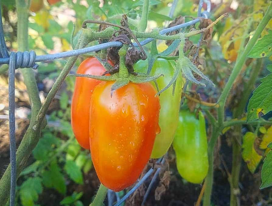 Growing tomatoes in Hawaii
