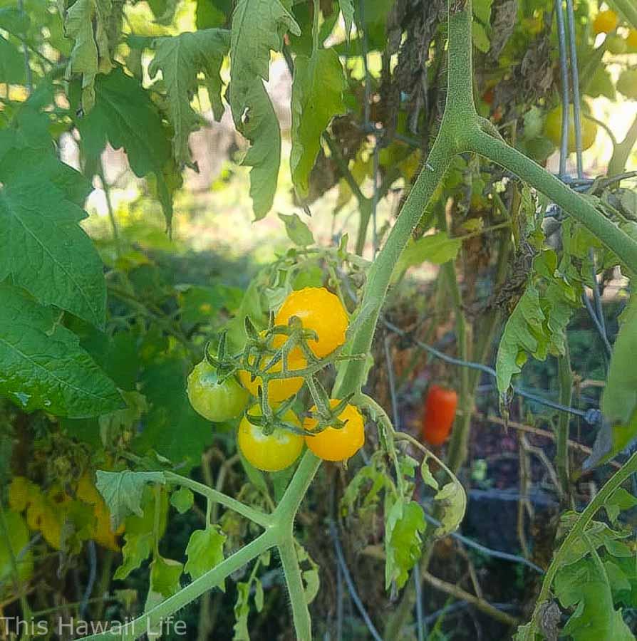 Garden practice growing tomatoes in Hawaii