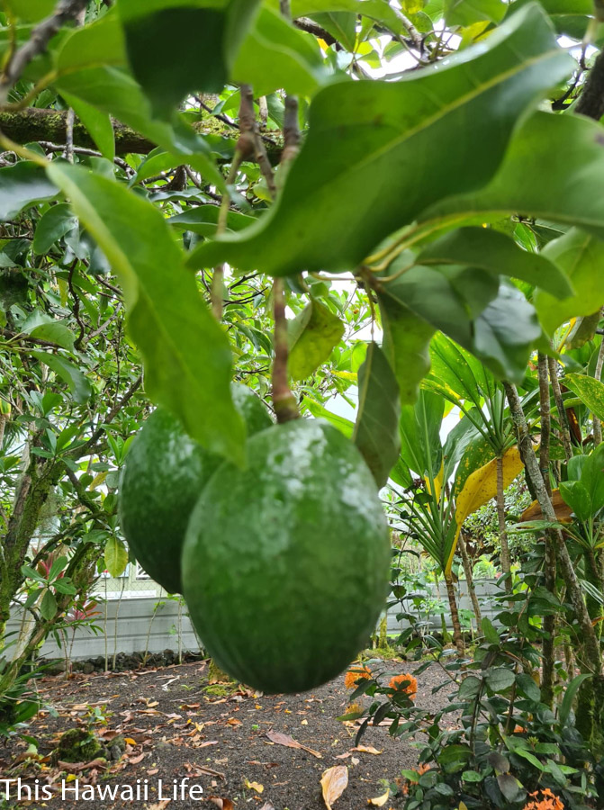 Taste the best avocados in Hawaii
