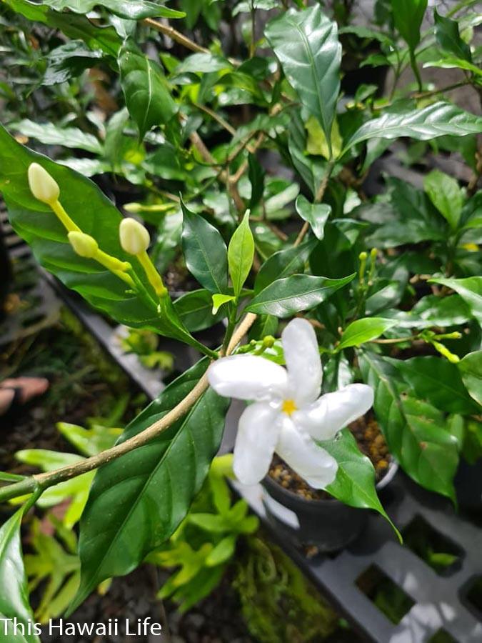 Gardenia flowers from Hawaii