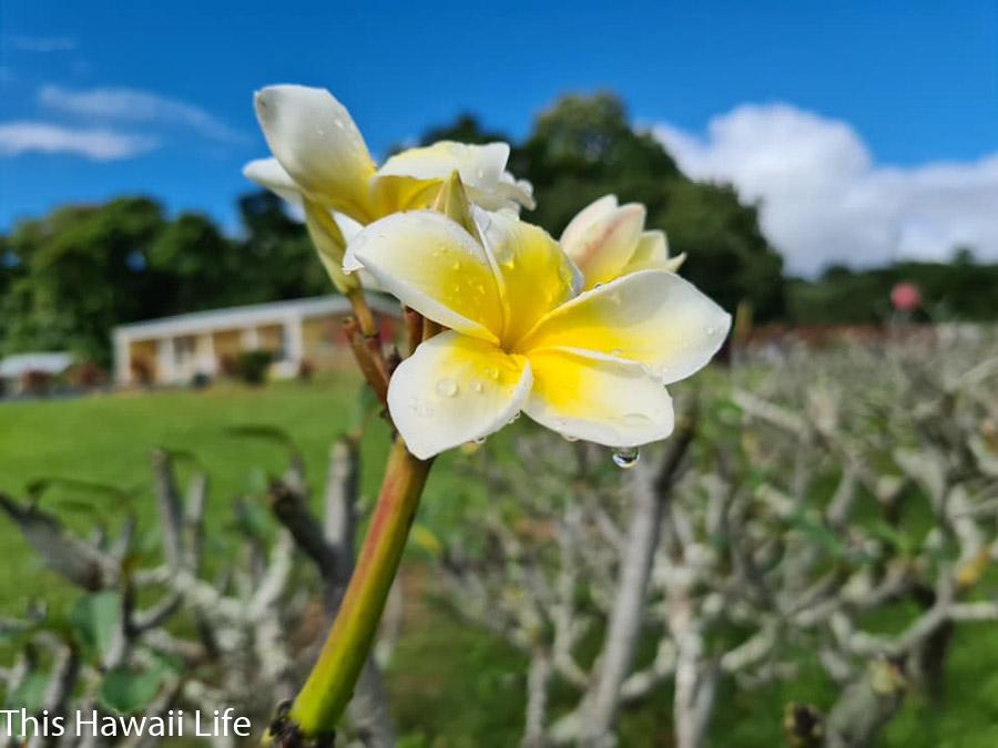 Plumeria flowers in Hawaii