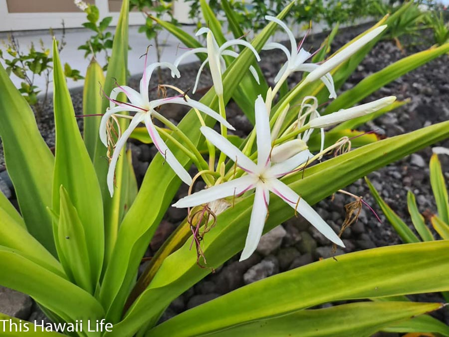 Scented crinum lily from Hawai