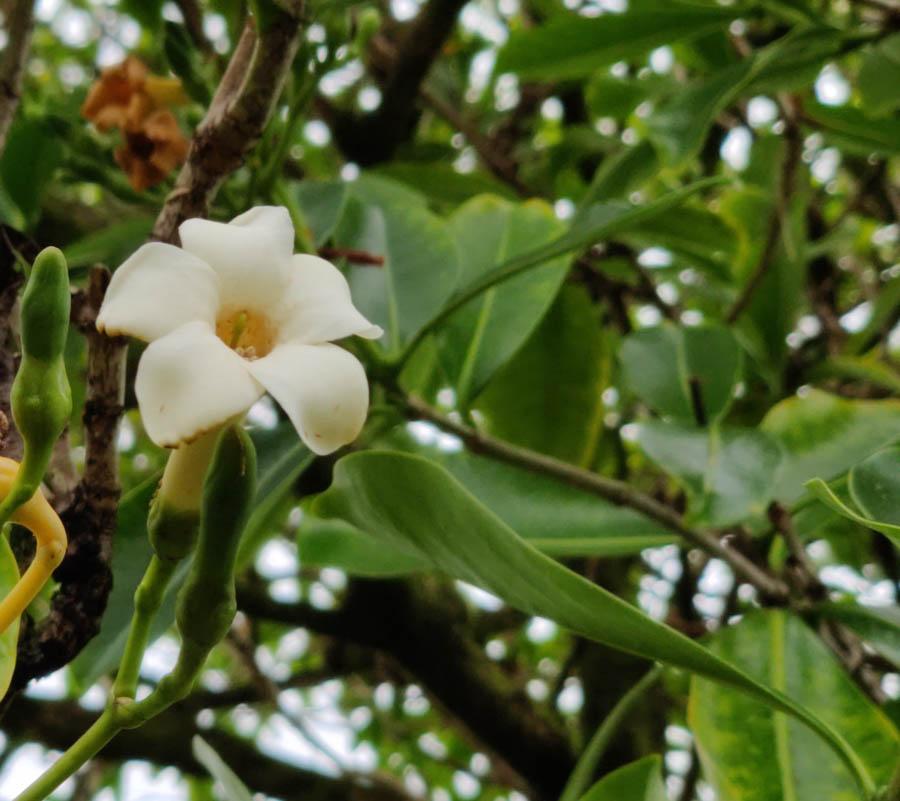 Puakenikeni plant flower