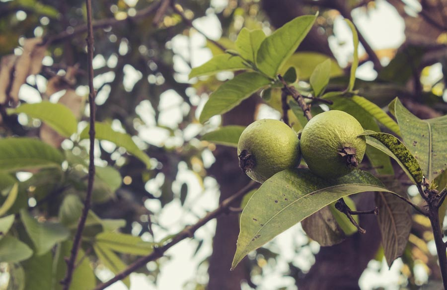 Delicious  Guavas from Hawaii