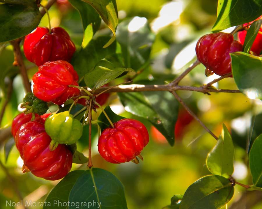 Surinam Cherry from Hawaii