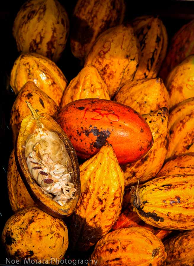 Cacao fruit from Hawaiian islands