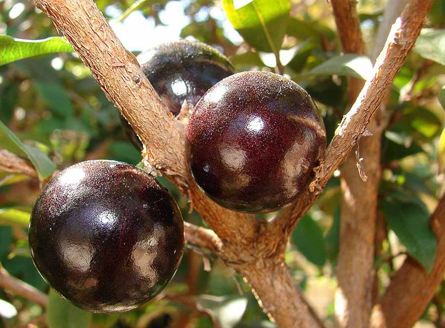 Jaboticaba fruit harvested in Hawaii