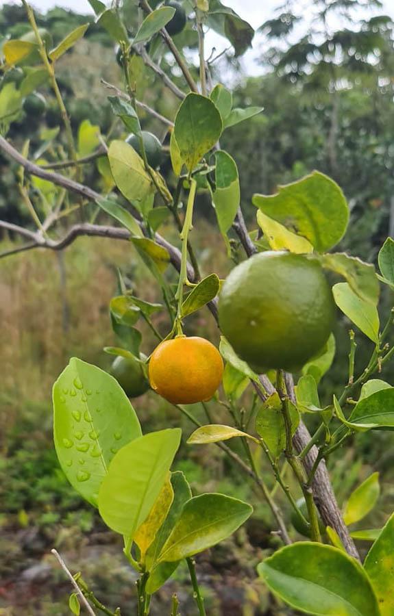 Orange and lemon citrus fruits from Hawaii