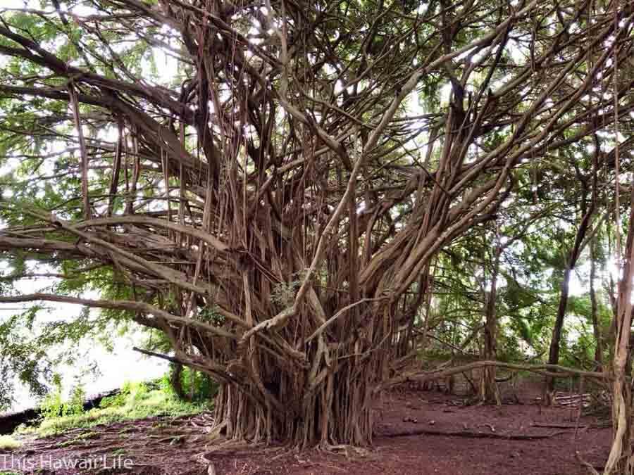 Ancient Banyan trees at Rainbow Falls
