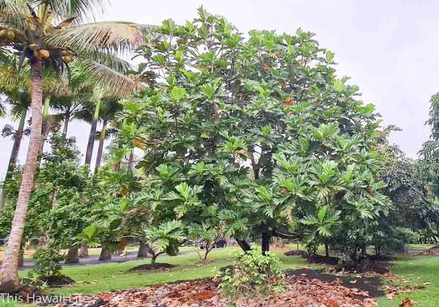 Grow your own breadfruit tree