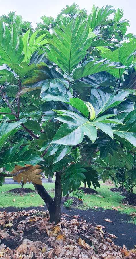 History of breadfruit in Hawaii