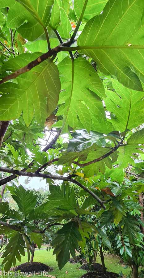 Interesting facts about Breadfruit or Hawaiian Ulu