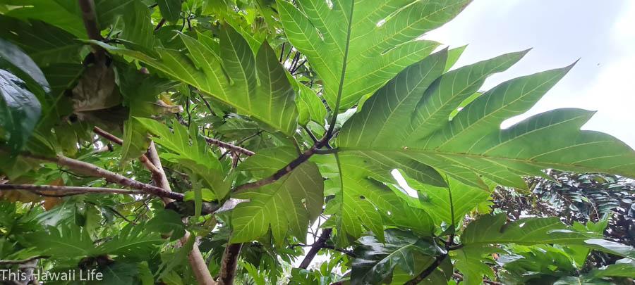 What is breadfruit or Hawaiian Ulu