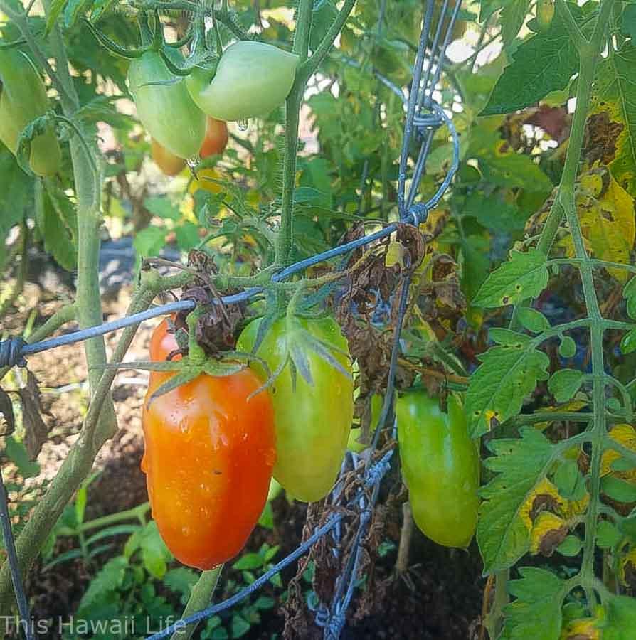 Growing tomatoes in Hawaii