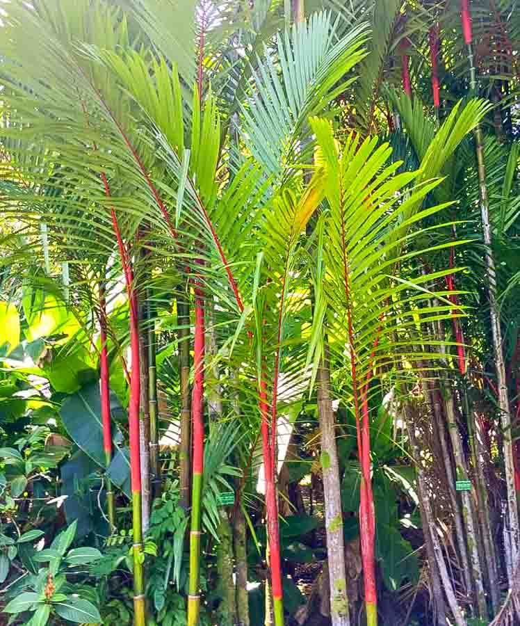 Hoomaluhia Botanical Garden  red sealing wax palm