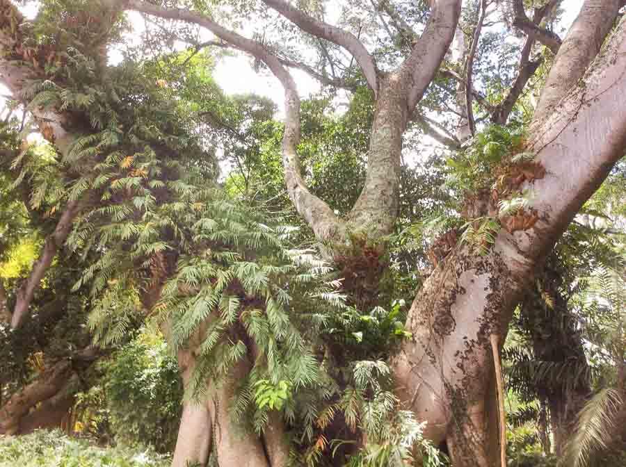 Wahiawa Botanical Garden lush trees