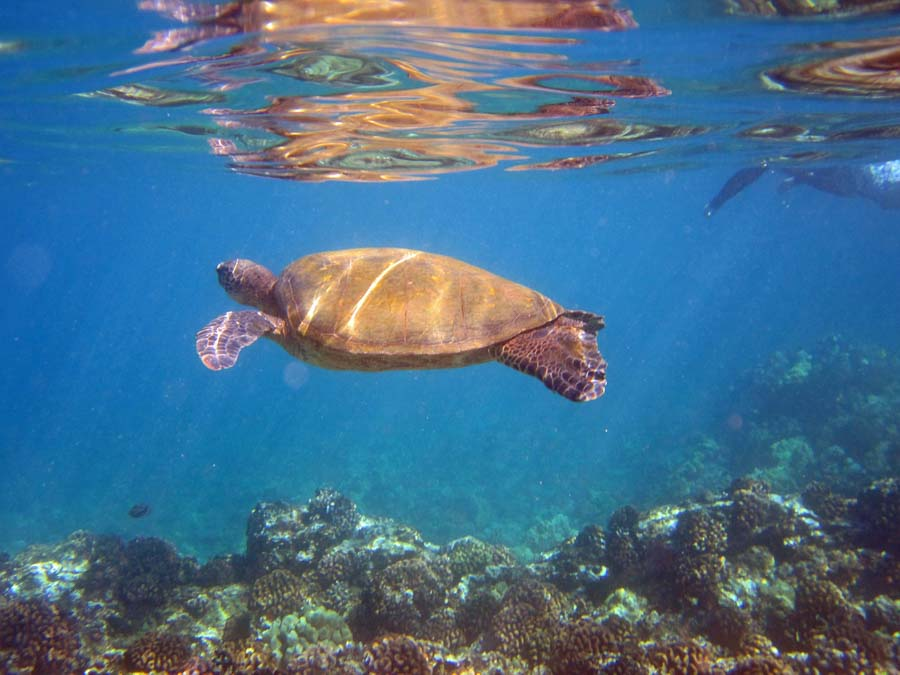 Swim with sea turtles at turtle beach