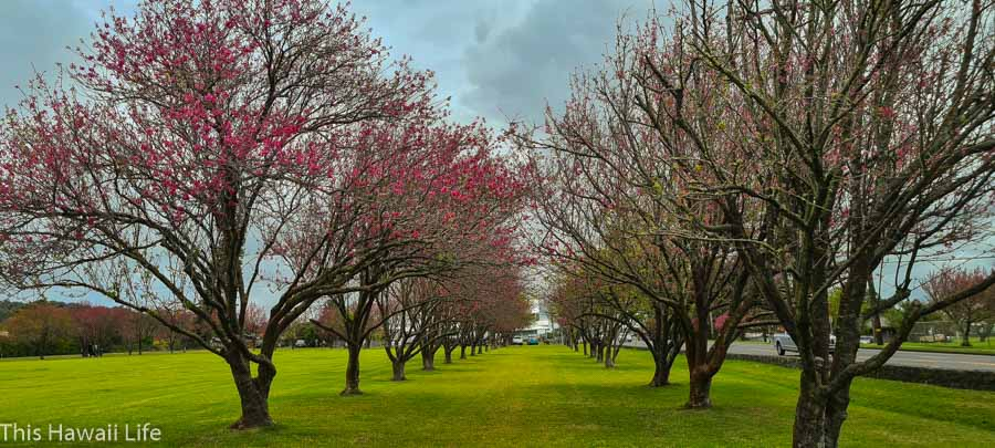 A yearly festival to Celebrate the Cherry Blossoms at Waimea