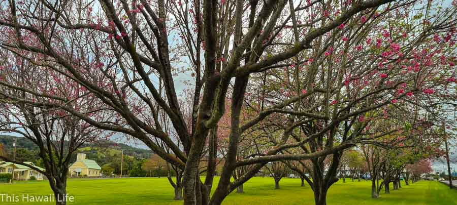 History of the Cherry Blossoms of Waimea