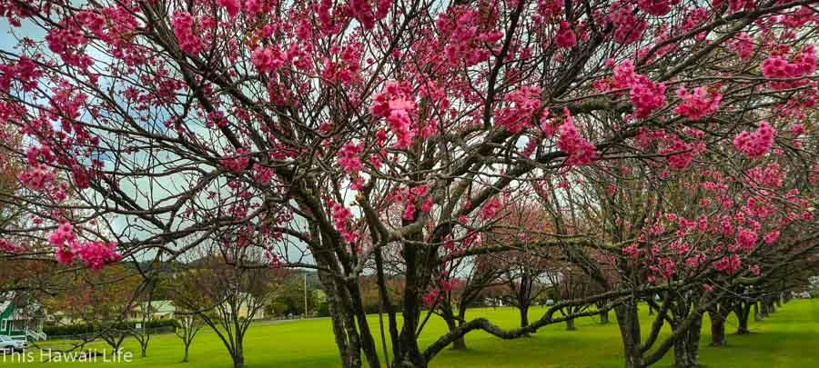Beautiful Cherry blossoms at Waimea on the Big Island of Hawaii