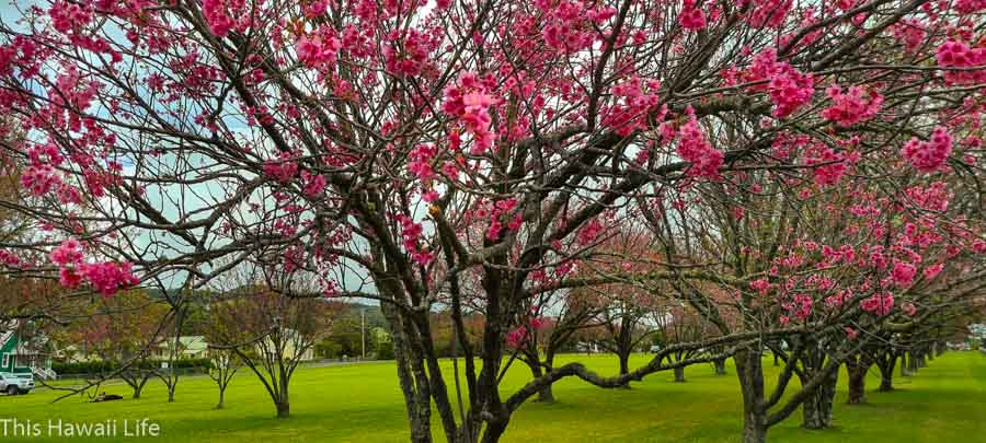 Have you visited the Cherry blossoms at Waimea?