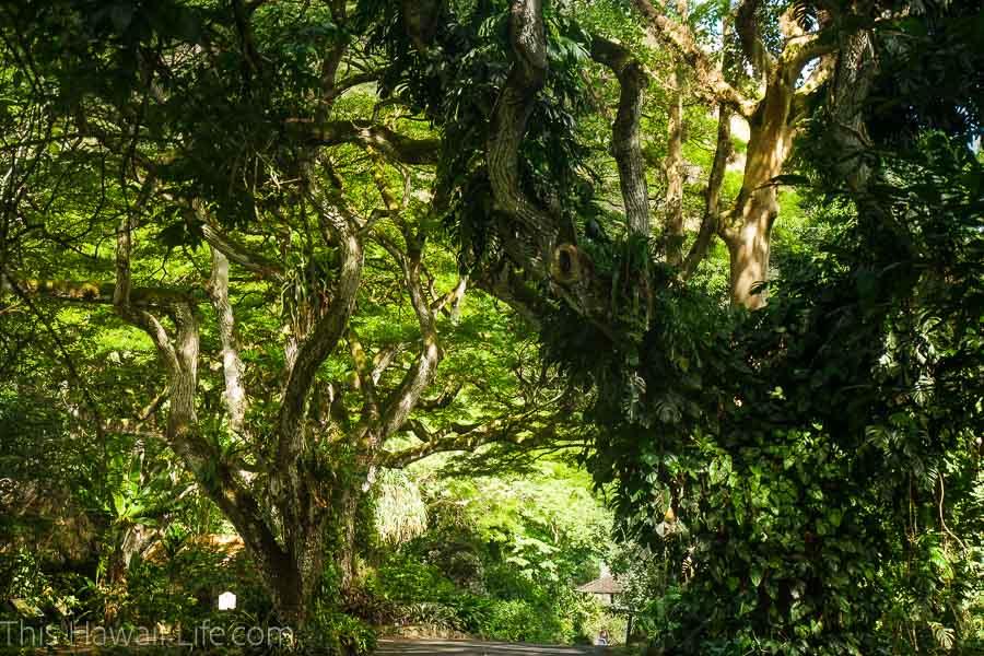 Gorgeous lush Waimea Valley as a background