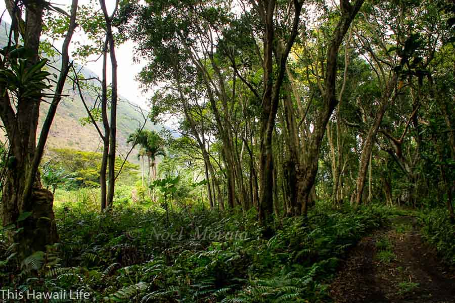 Drive or hike down Waipio Valley to the valley floor