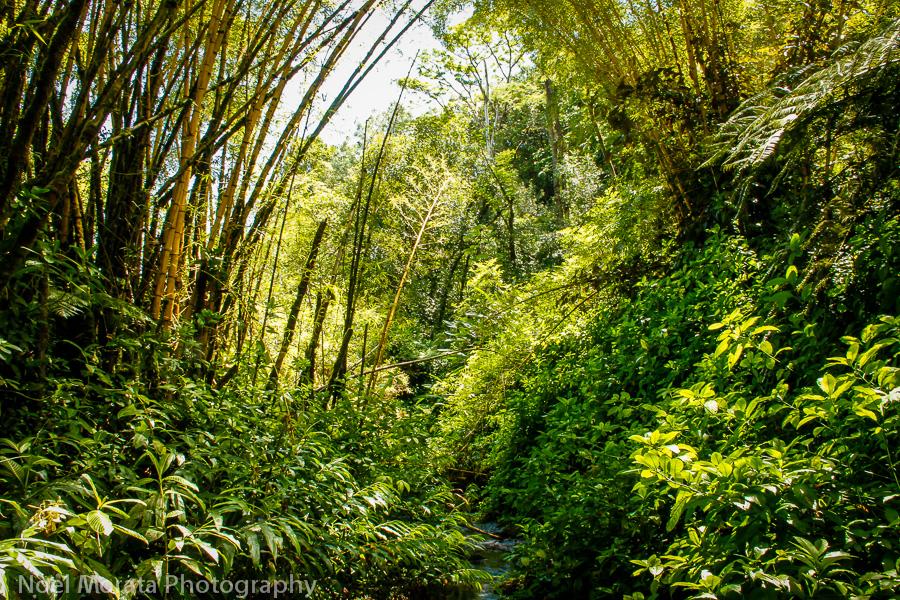 Walking through the lush gardens and bamboo grove around akaka falls