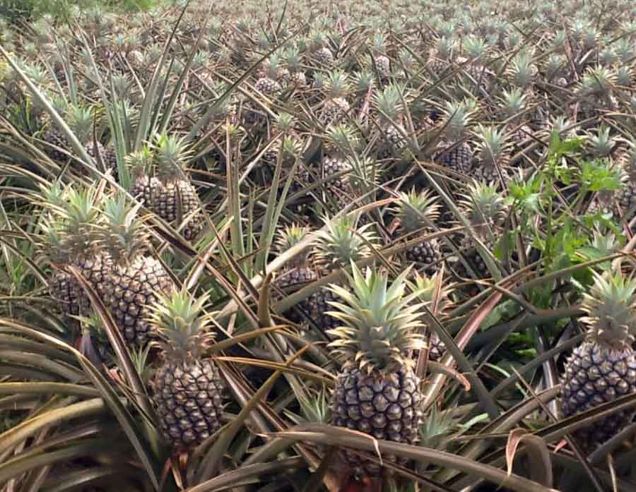 Here's how to find the best pineapples