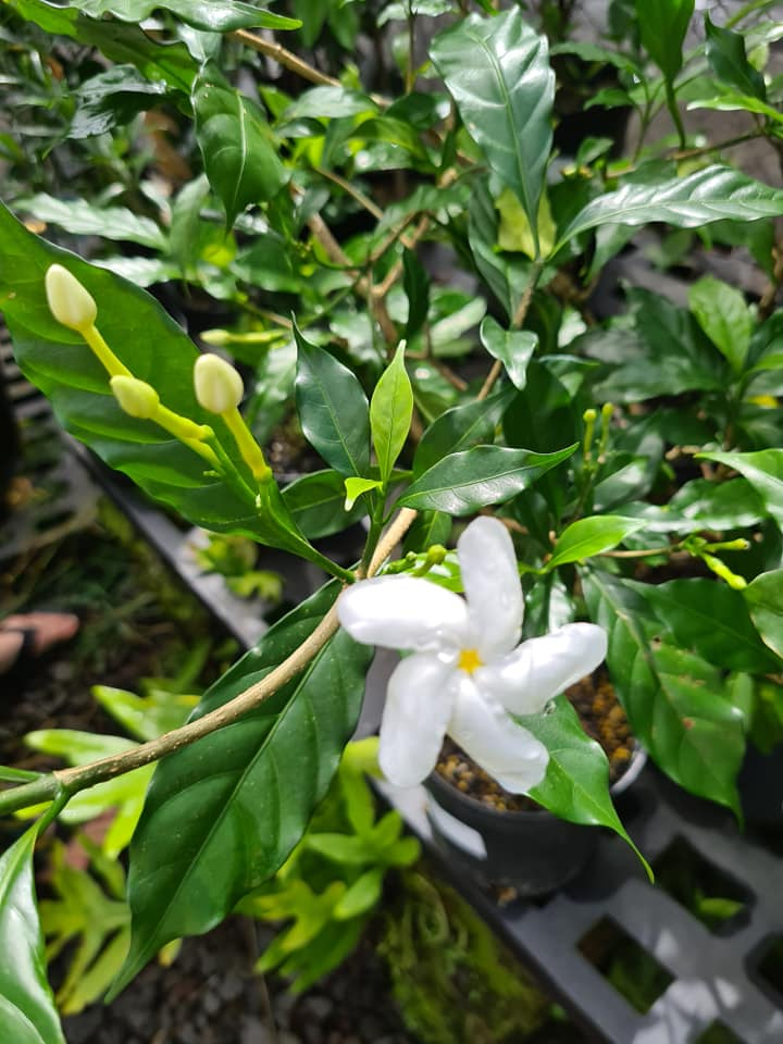 Jasmine tropical flowers